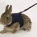 Pettorina per coniglio