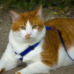 Guinzagli- pettorina per gatto
